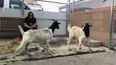 goat rescue new york