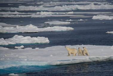 Polar bear family on the coast of Greenland