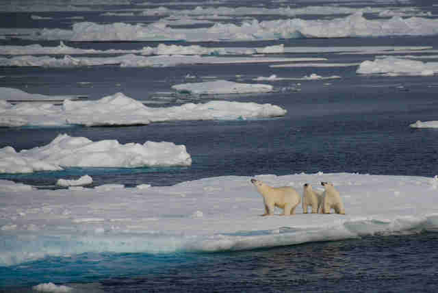 Polar bear family on the coast of Greenland