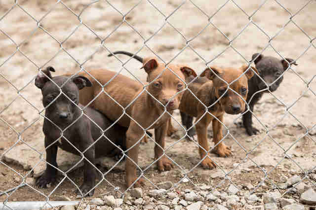 Puppies behind fence