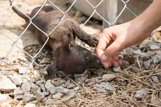 Person touching tiny puppy through fence