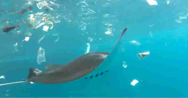 manta ray pollution plastic