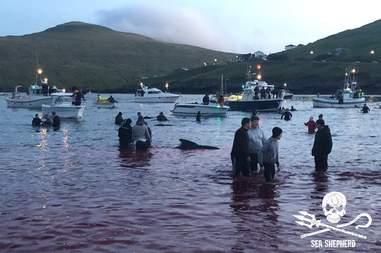 Dead pilot whales on a beach in the Faroe Islands