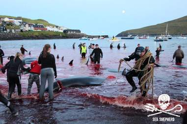 Hunters killing pilot whales