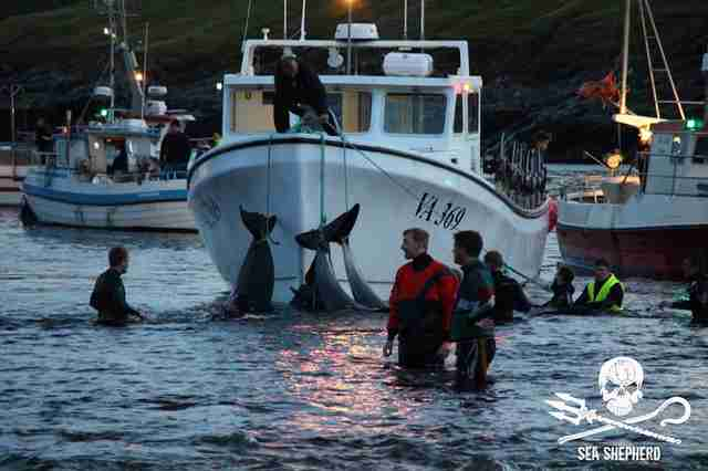 Dead pilot whales attached to boat