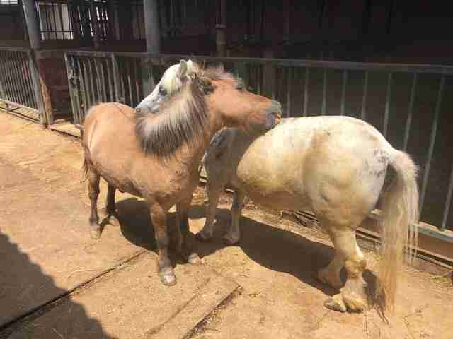 Neglected ponies fall in love at rescue center