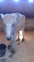 Neglected breeding pony with overgrown hooves