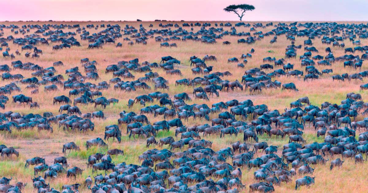 sneaky zebra hides among herd of wildebeest in kenya the dodo