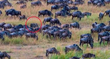 zebra hiding wildebeest