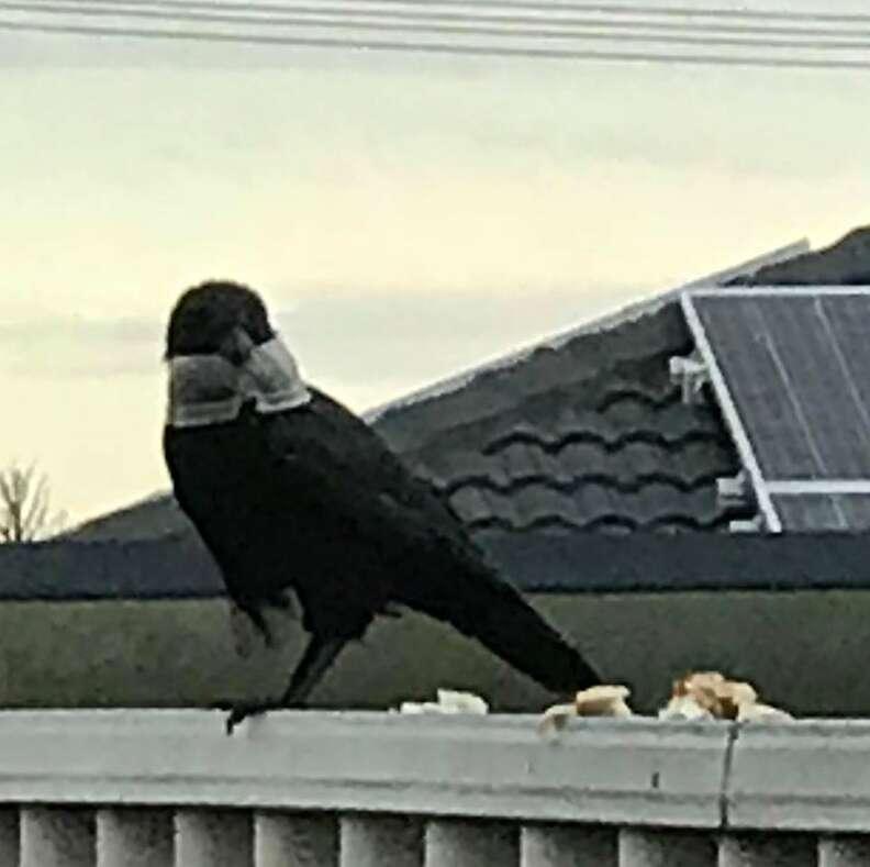 Raven with plastic lid caught around head