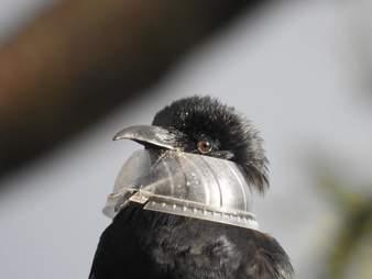 Raven with plastic lid caught around his head