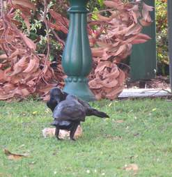 Two ravens on the ground together