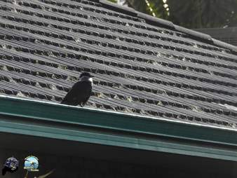 Raven with plastic lid around head sitting on roof