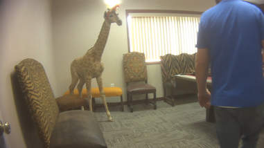 Baby giraffe preserved in taxidermy