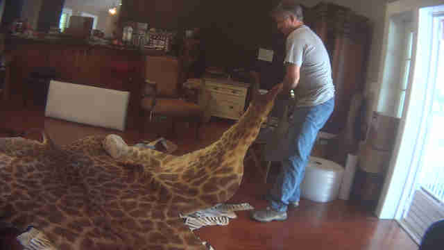 Man laying out giraffe skin