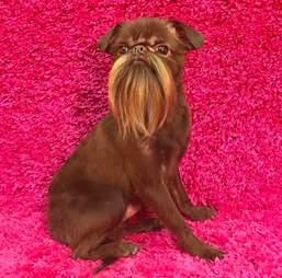 beard dog
