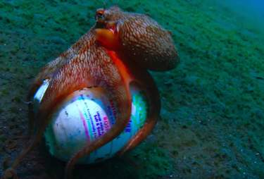 Wild octopus makes home out of a trashed soap dish