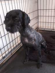 Dog with shaved fur sitting in kennel
