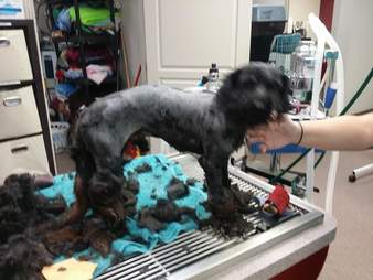 Vet techs shaving dog down