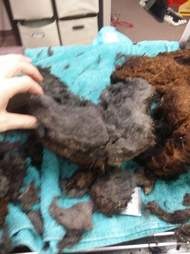 Fur removed from matted dog