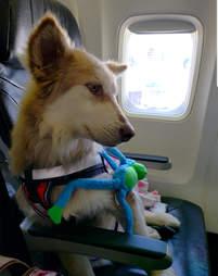 dog rescue husky