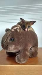 Possum sitting on top of stuffed wombat