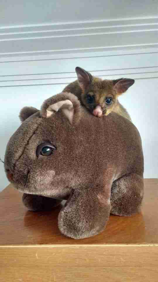 Possum sitting on top of stuffed wombat