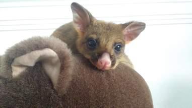 Baby possum sitting on top of stuff animal
