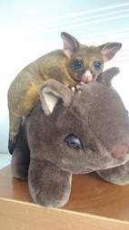 Possum sitting on top of wombat toy