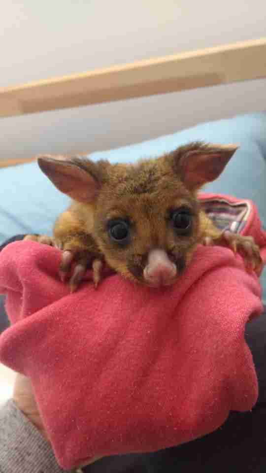 Rescue baby possum sitting on top of blanket