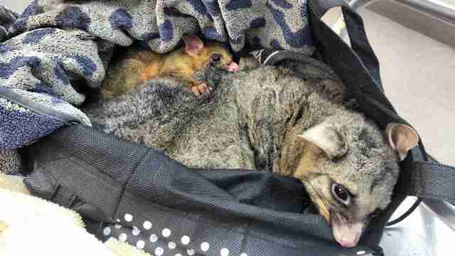 Baby possum clinging to dead mother