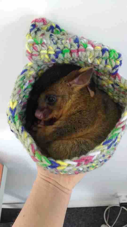 Rescued baby possum snuggled up in pouch