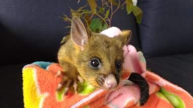 Rescued baby possum sitting on blanket