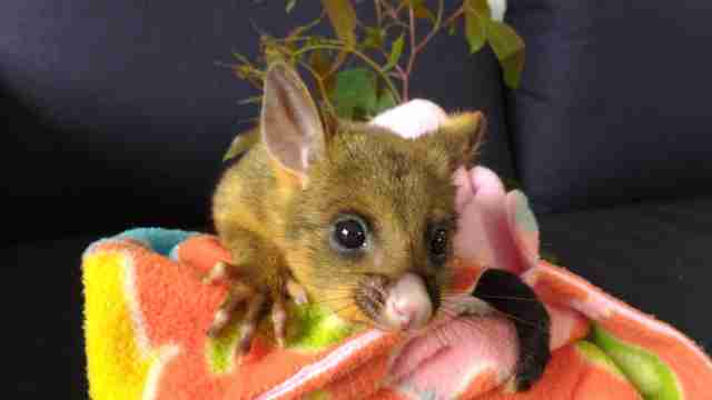 Rescued baby possum sitting on blanket
