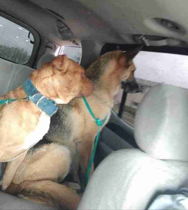 German shepherd and pit bull in their rescuer's car