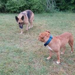 Homeless pit bull and German shepherd who lived in woods in Fort Worth, Texas