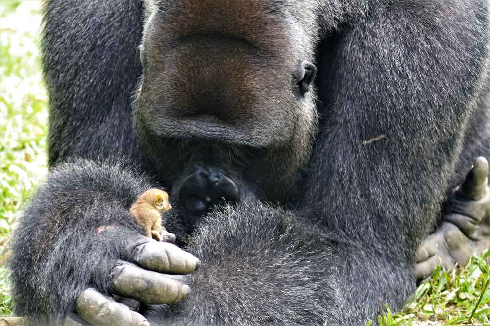 Gentle Gorilla Discovers Tiniest New Friend In The Forest