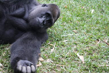 Rescued silverback gorilla playing with wild bushbaby in Cameroon