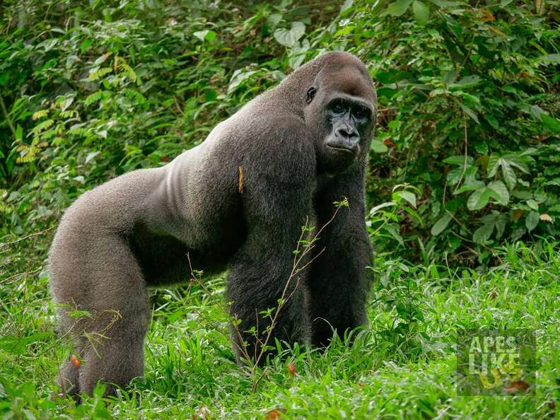 Rescued silverback gorilla at Cameroon sanctuary
