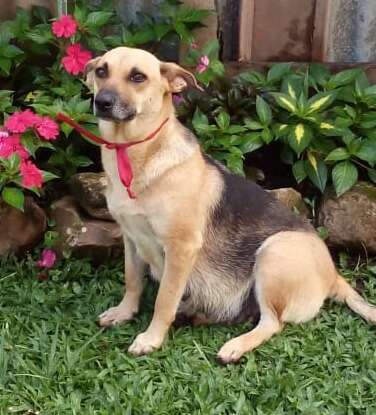 Abandoned pregnant dog in Costa Rica at foster carer's home