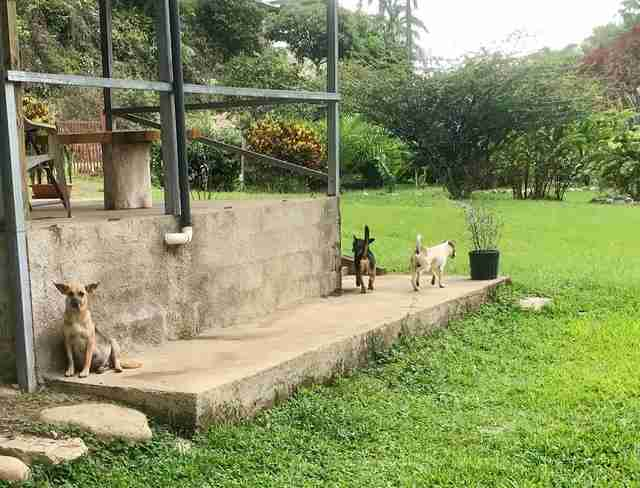 Abandoned pregnant dog in Costa Rica arrives at foster carer's home