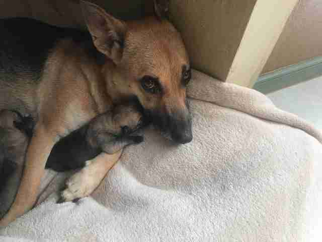 Abandoned dog in Costa Rica at foster carer's home after giving birth