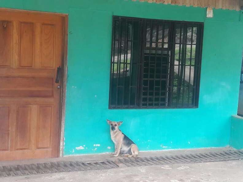 Abandoned pregnant dog in Costa Rica
