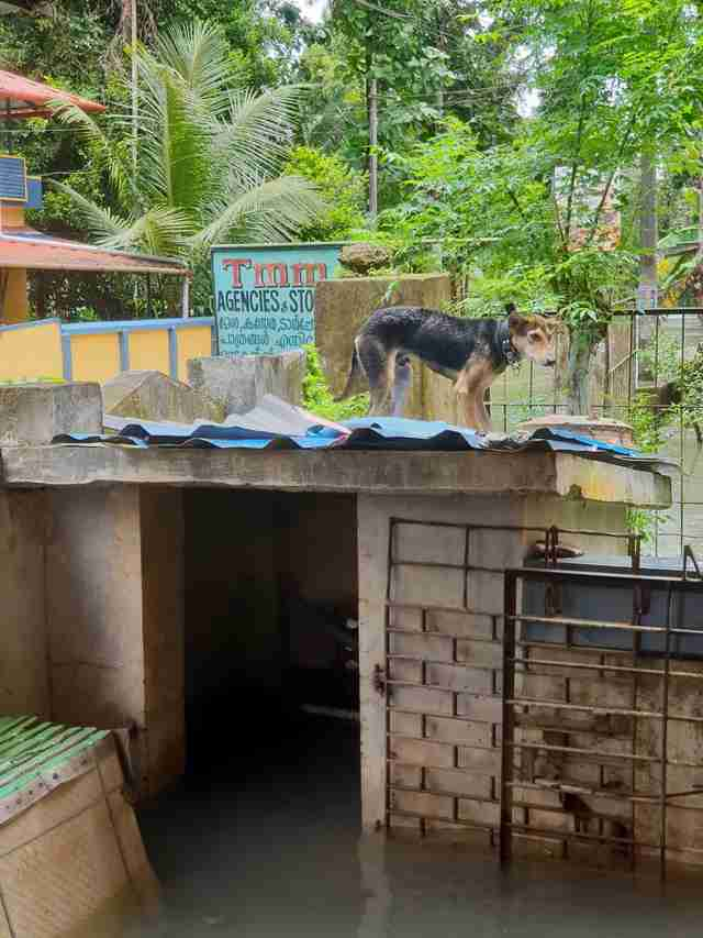 Dog standing on roof of flooded building