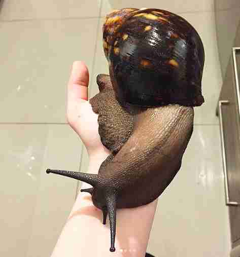 these giant snails are as big as your face the dodosnail giant africa