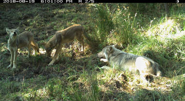 Wolf pups born on Mt. Hood in Oregon for first time in 70 years