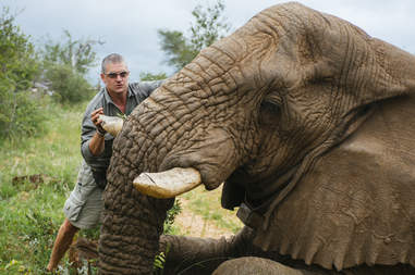 Sedated elephant being relocated
