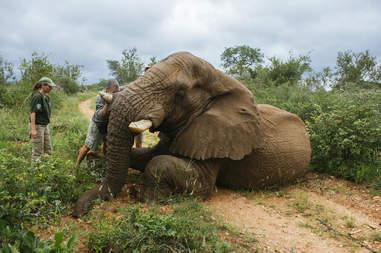 Wild elephant sitting on ground