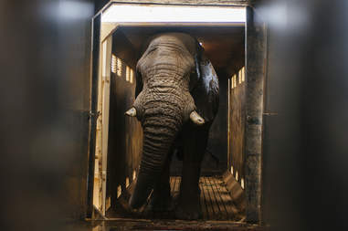 Elephant being relocated by rescue team