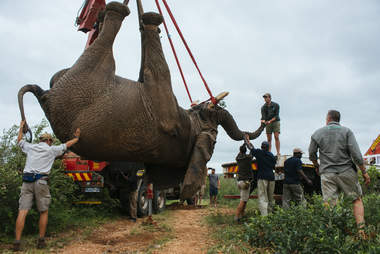 Elephant being relocated